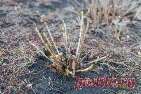 Чем опасно раннее укрытие роз, клематисов и гортензий