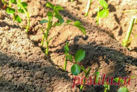 Три способа размножить декоративные растения весной   Прочие многолетники (Огород.ru)