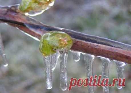 Реанимация вымерзшего винограда | Vusadebke.com | Яндекс Дзен