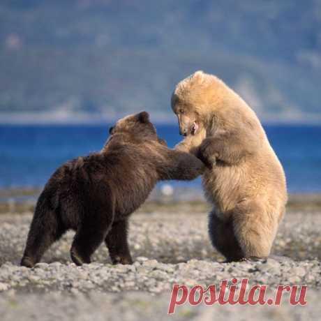 Белый  с  чёрным  медведи  повстречались...