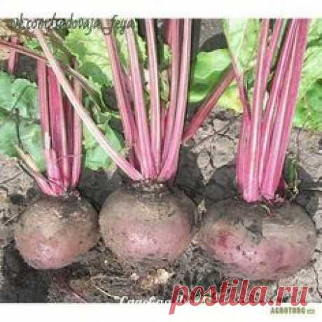 MISTAKES AT CULTIVATION OF BEET.