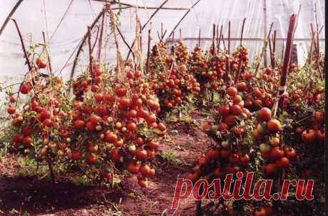 60 томатов с одного куста? Это реально!  Собирать до 50-60 помидоров с каждого куста может каждый дачник! Секрет такого урожая прост: один куст помидоров нужно выращивать на двух корнях - и место экономится, и урожай будет обильнее. Сорт при этом не имеет значения.  Для этого в одну емкость сажайте семена близко друг от друга - на расстоянии не более 1 см. Когда рассада подрастет и толщина стебля станет достаточно большой, острой бритвой снимите верхний слой стеблей двух ...