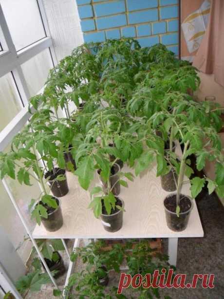 3 народных способа сделают рассаду помидоров богатырской