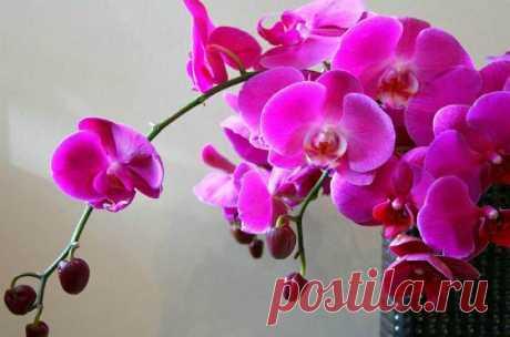 Выращивание орхидеи в домашних условиях- уход, полив, пересадка и размножение Как ухаживать за орхидеей в домашних условиях, сорта и виды, правильный уход за орхидеей- полив, размножение, пересадка, выбор горшков, фото, видео