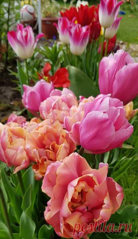 Когда пионы формируют бутоны, провожу одну подкормку для более длительного и пышного цветения | MyFlowersDream.ru | Яндекс Дзен