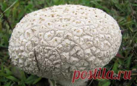 Съедобен ли гриб дождевик. Заготовка и хранение дождевиков