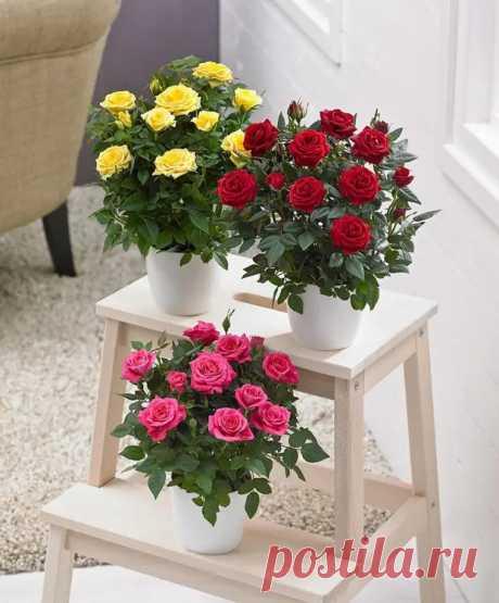 Роза горшечная: фото, выращивание и уход в домашних условиях - Цветочки - медиаплатформа МирТесен