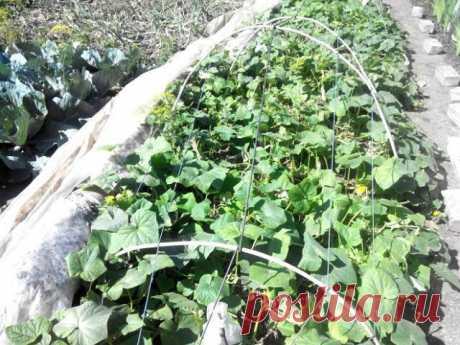 Как продлить плодоношение огурцов? | Огурцы (Огород.ru)