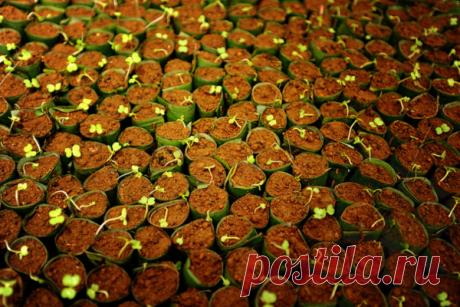 Почему нельзя вырастить рассаду капусты дома? Раскрываем секреты по выращиванию   Дачная жизнь   Яндекс Дзен