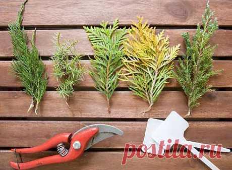 Вегетативное размножение хвойных растений | Supersadovod - о саде и огороде просто и интересно