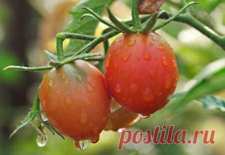 Как помочь помидорам в холодное лето? | 6 соток