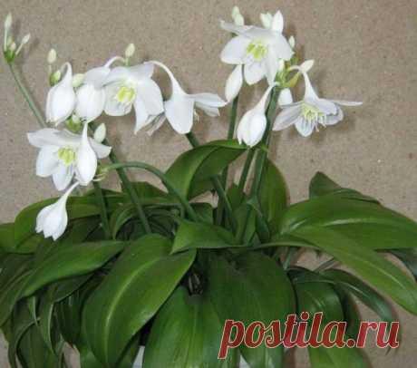 Эухарис (амазонская лилия) - 130 фото цветка, правила ухода и выращивания, почему не цветет