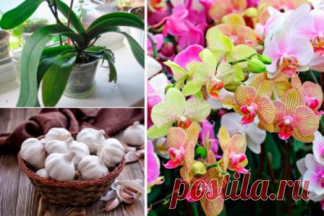 Чесночное лакомство для орхидей: обильное цветение гарантировано Иногда нормально развивающейся орхидее почему-то оказывается не до цветов. Зная одну хитрость, легко изменить ситуацию. Использовать стимуляторы роста и дор