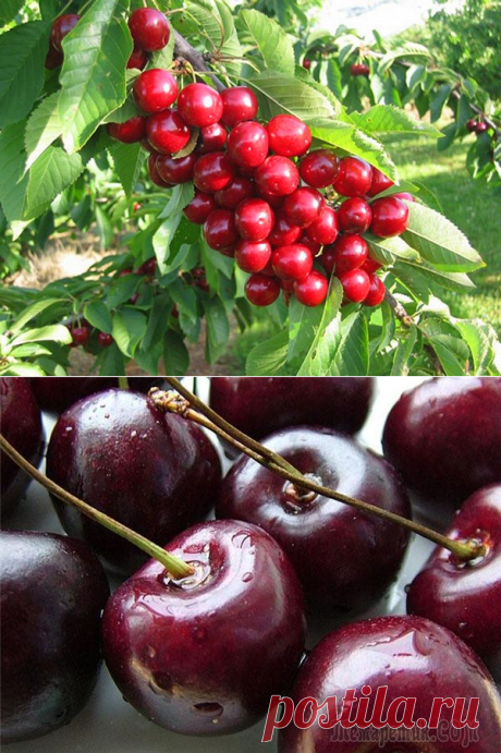 Агротехника выращивания черешни сорта Овстуженка