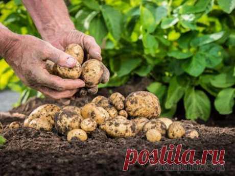 Удобрения для картофеля при посадке в лунку