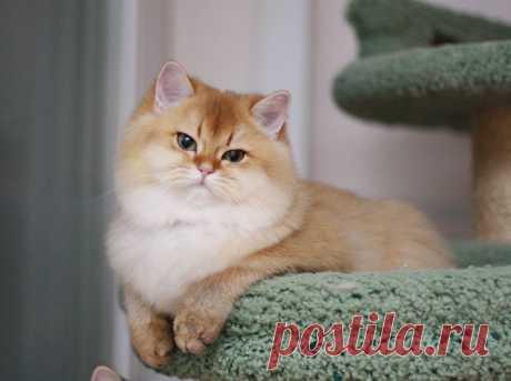 Британская кошка золотая шиншилла