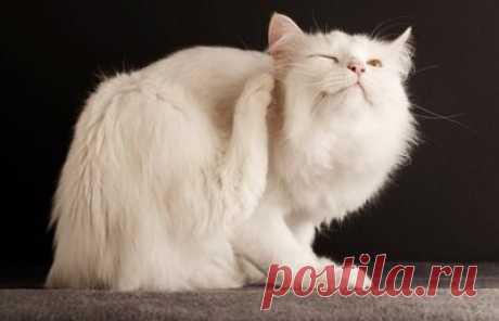 Признаки и методы лечения кошачьей чесотки | Кот и Кошка | Яндекс Дзен