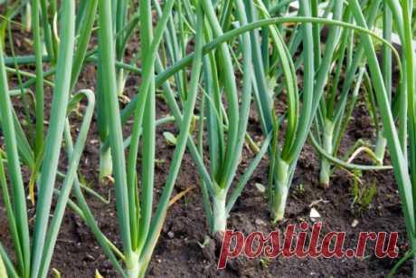 Чем подкормить лук, чтобы он был крупным: органические и минеральные удобрения, народные средства