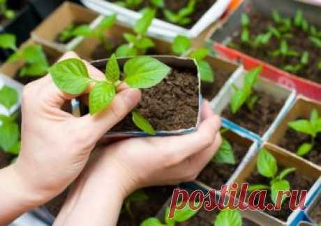 Que hacer, si las plantas crecen mal \u000a \u000a \u000a\u000aPara conseguir la cosecha oportuna y grande de las plantas, al principio es necesario cultivar las plantas fuertes. Debe ser no estirado, tener el tallo gordo y el color saturado de las hojas, desarrollado a …