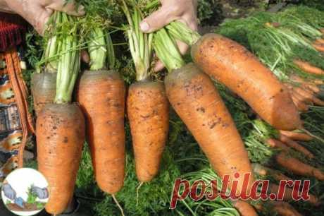 Самые крупные и урожайные сорта моркови   #огород