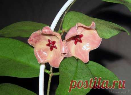 Хойя patella(pink)