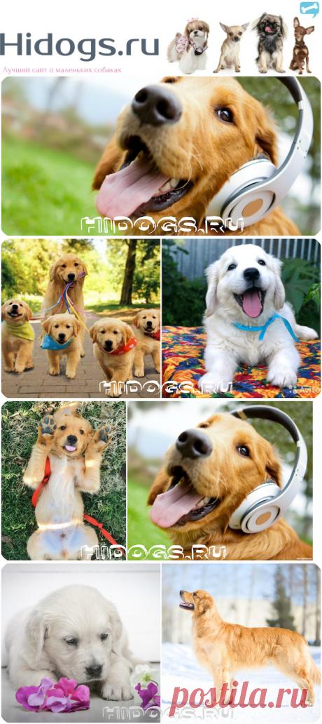 Золотистый ретривер: все о самой доброй породе собак (фото)