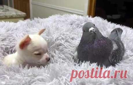 Не умеющий летать голубь подружился с щенком, который не умеет ходить Сотрудники фонда The Mia Foundation, находящегося в Нью-Йорке и занимающегося помощью животным и птицам с врождёнными дефектами, запечатлели двух своих