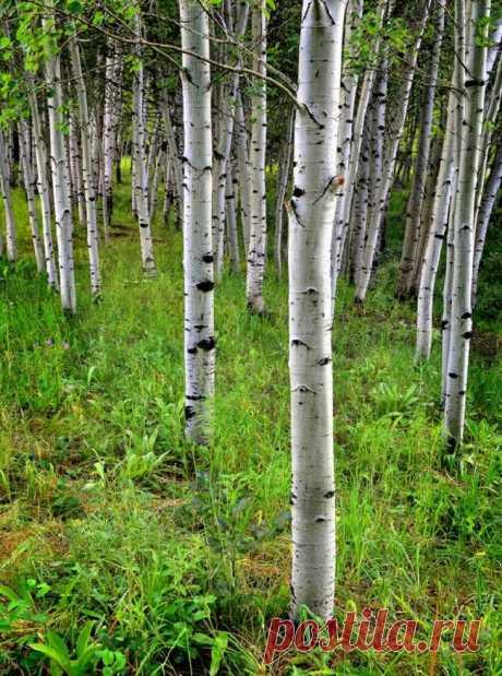 Польза коры осины для организма.... Большое количество лекарств и целебных веществ дает нам сама природа. Нужно только нагнуться и взять ее дары. Например, кору осины. Настой из коры этого дерева помогает при простуде, нервных расстройствах, заболеваниях ЖКТ… Благотворное влияние на организм человека осиновая кора оказывает...