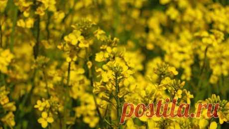 Какие сидераты нужно посадить осенью: советы агронома Сидераты – это растения, которые садят для удобрения и оздоровления почвы. Как правило, они выращиваются в качестве сидератов (зеленых удобрений), после чего скашиваются и закапываются осенью. Такие растения не только обогащают почву полезными веществами, но и улучшают ее плодородность. Рассмотрим, какие сидераты лучше сажать осенью и как правильно это сделать. Особенности сидератов В наших широтах сидератами чаще всего выступают злаковые р…