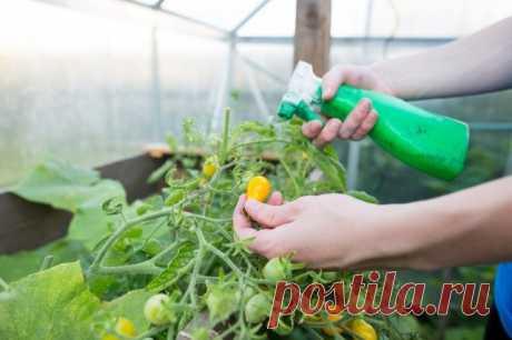 Как понять, что помидоры пора подкармливать