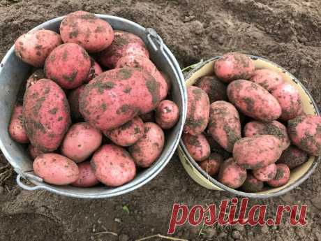 Какие уловки помогают собирать по ведру картошки с одного куста? | 6 соток