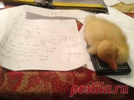 No podía hacer los deberes, porque el patito ha dormido sobre mi calculador ^^