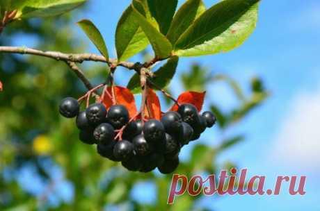 Черноплодная рябина — польза и противопоказания