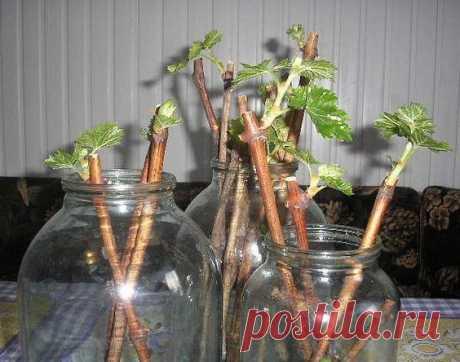 Саженцы смородины за три месяца - время заготавливать черенки!  Как известно, чтобы вырастить саженец смородины, крыжовника или некоторых других ягодных культур, нужен год, а то и два. Я же выращиваю отличные саженцы со 100%-ной приживаемостью за три месяца. Как?…