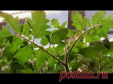 Как я делаю здоровую толстую рассаду томатов для раннего урожая. Ольга Чернова.