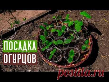 СПЕЦВЫПУСК 🥒 Посадка огурцов в траву, с секретом  / Садовый гид