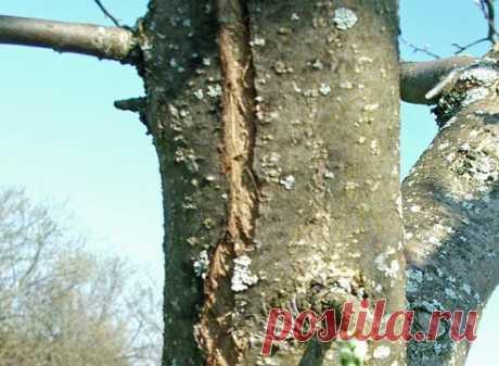Трескается кора у деревьев: что делать