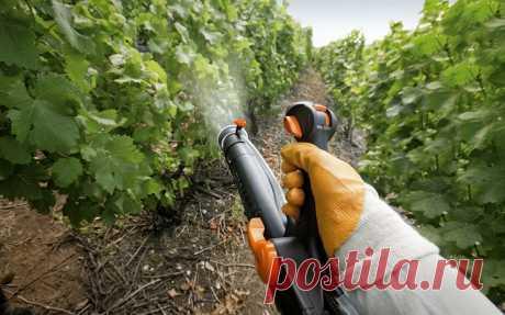 Весенняя обработка винограда от болезней и вредителей. Опрыскивание винограда проводят в пасмурный день без ветра и дождя.