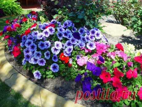 Что не любит садовая Петуния? 5 главных ошибок при Уходе за красивым цветком | Все о цветоводстве | Яндекс Дзен