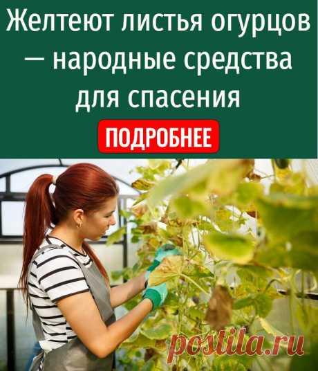 Желтеют листья огурцов — народные средства для спасения