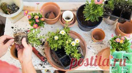 5 причин, из-за которых растения гибнут при пересадке Если вы однажды купили новое растение. пересадили его в хороший горшок и землю, а через несколько дней он высох — этот материал для вас! Пересадка для растения — большой стресс и нужно соблюдать много…