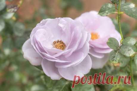 Мини-флорибунда: 10 сортов для небольшого цветника
