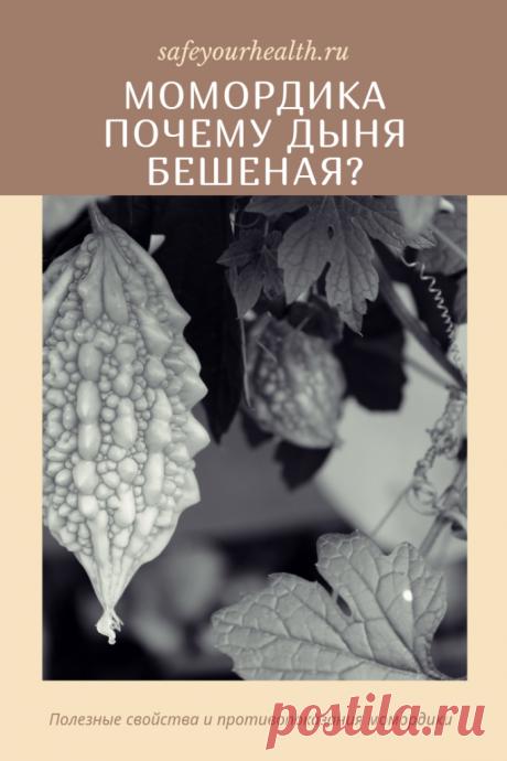Момордика (индийский огурец, индийский гранат, горькая дыня), её разновидности и полезные свойства. Где её купить и как вырастить? Отзывы о момордике и применение в кулинарии.
