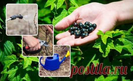 5 ошибок при выращивании смородины, которые лишают вас урожая | Смородина, крыжовник (Огород.ru)