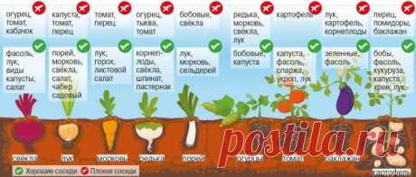 Хорошие и плохие соседи на грядке / Садоводство, дача / Сад, огород, растения... / Pinme.ru