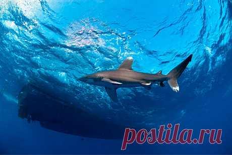 Длиннокрылая акула: 9 интересных фактов из жизни лонгимануса | Приключения натуралиста | Яндекс Дзен