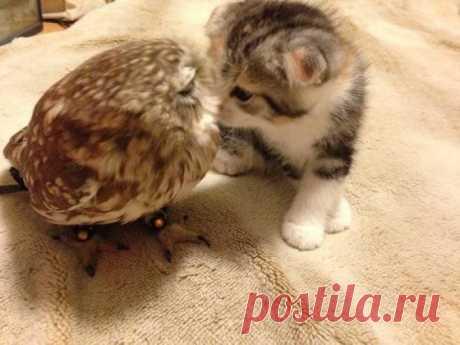 Просто котенок, который дружит с совой