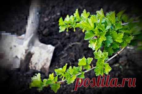 Куст Крыжовника будет обильно плодоносить если в апреле произвести народную подкормку. Рассказываю свой рецепт урожая.   Сад и огород   Яндекс Дзен