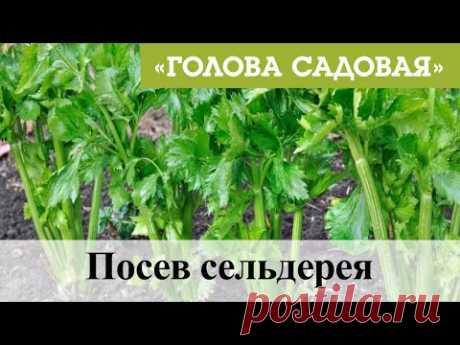 Голова садовая - Посев сельдерея