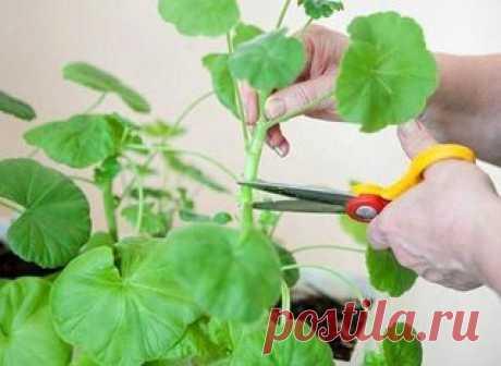 Como cortar correctamente el geranio que florezca pomposamente\u000d\u000a\u000d\u000aDel pedazo del pelargonio: las reglas básicas\u000d\u000aPara cortar correctamente el geranio, es necesario tomar en consideración el tipo de la flor. Puede ser de muchos años y de un año. La planta anual cortar no es obligatorio. Debe hacerlo solamente para el cambio de la forma de la planta. El pelargonio de muchos años tiene necesidad del pedazo 2 veces por año – la primavera y el otoño. El pedazo no sólo decora el aspecto exterior, contribuye al nacimiento de la gran cantidad de las grandes inflorescencias y...
